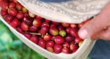Coffeeprocess Species